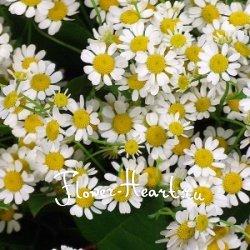 камилла фото цветок
